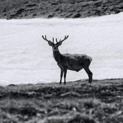 SCOTLAND : RED DEER