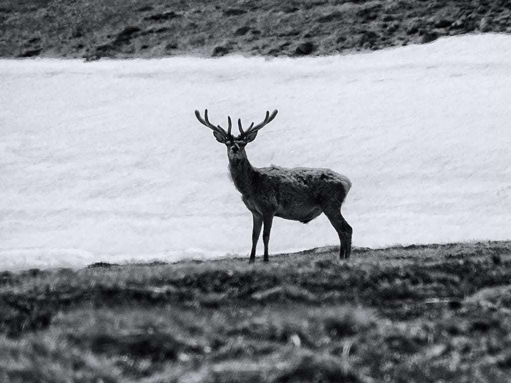 Scotland : Deer