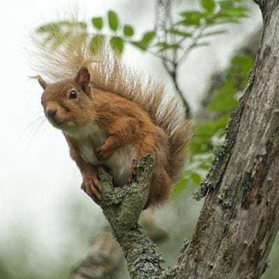 SCOTLAND : RED SQUIRRELS