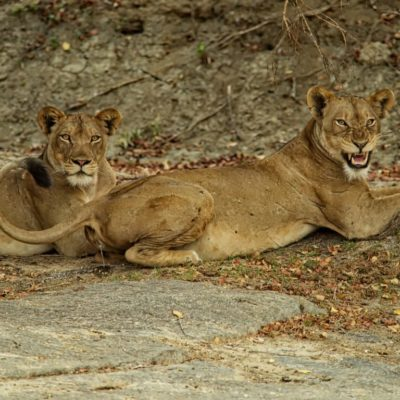 AFRICA : KAFUE BIG CATS
