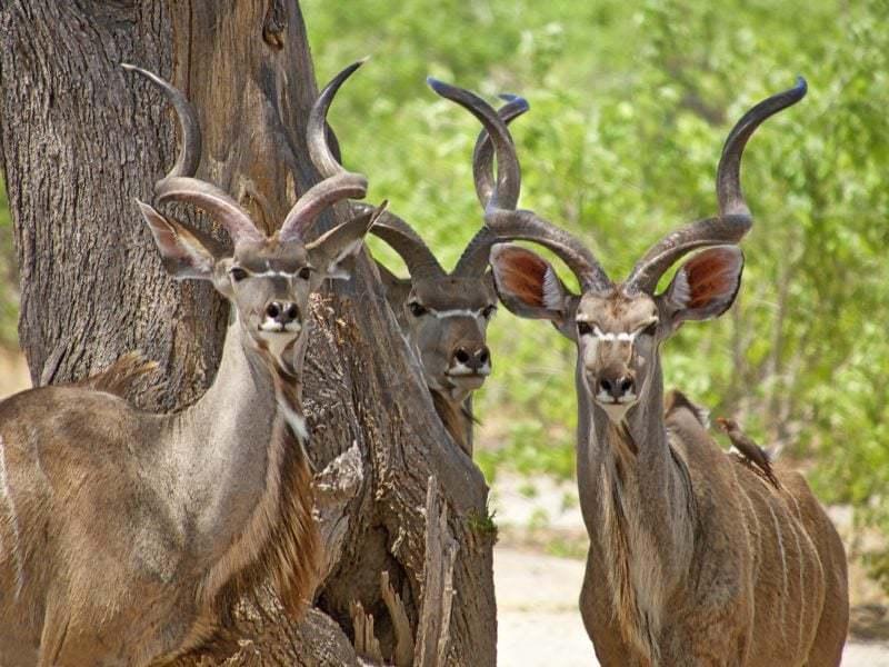 Kudu II : Moremi, Botswana.