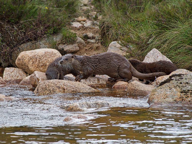 Glen Tanar Otter Family