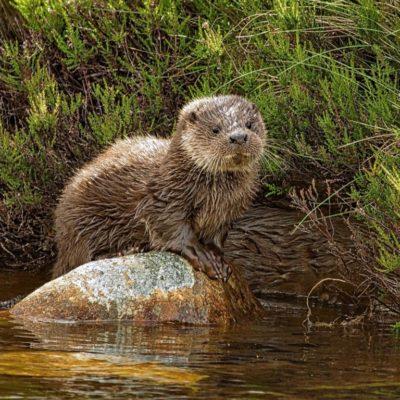 Glen Tanar Otter Cub