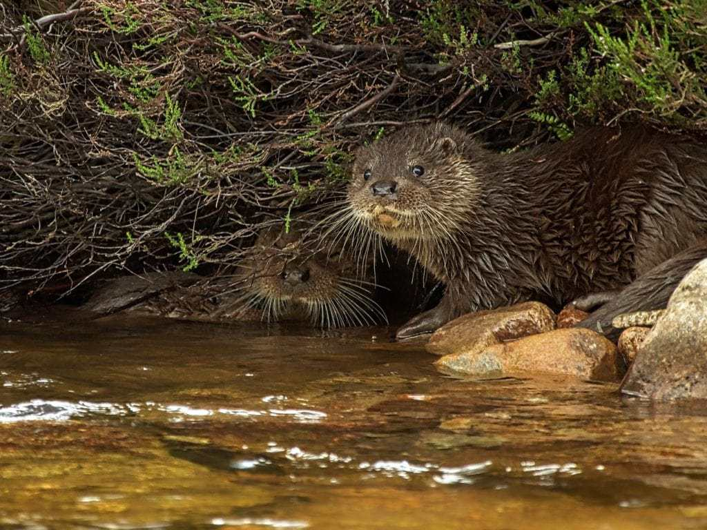 Glen Tanar : Otters