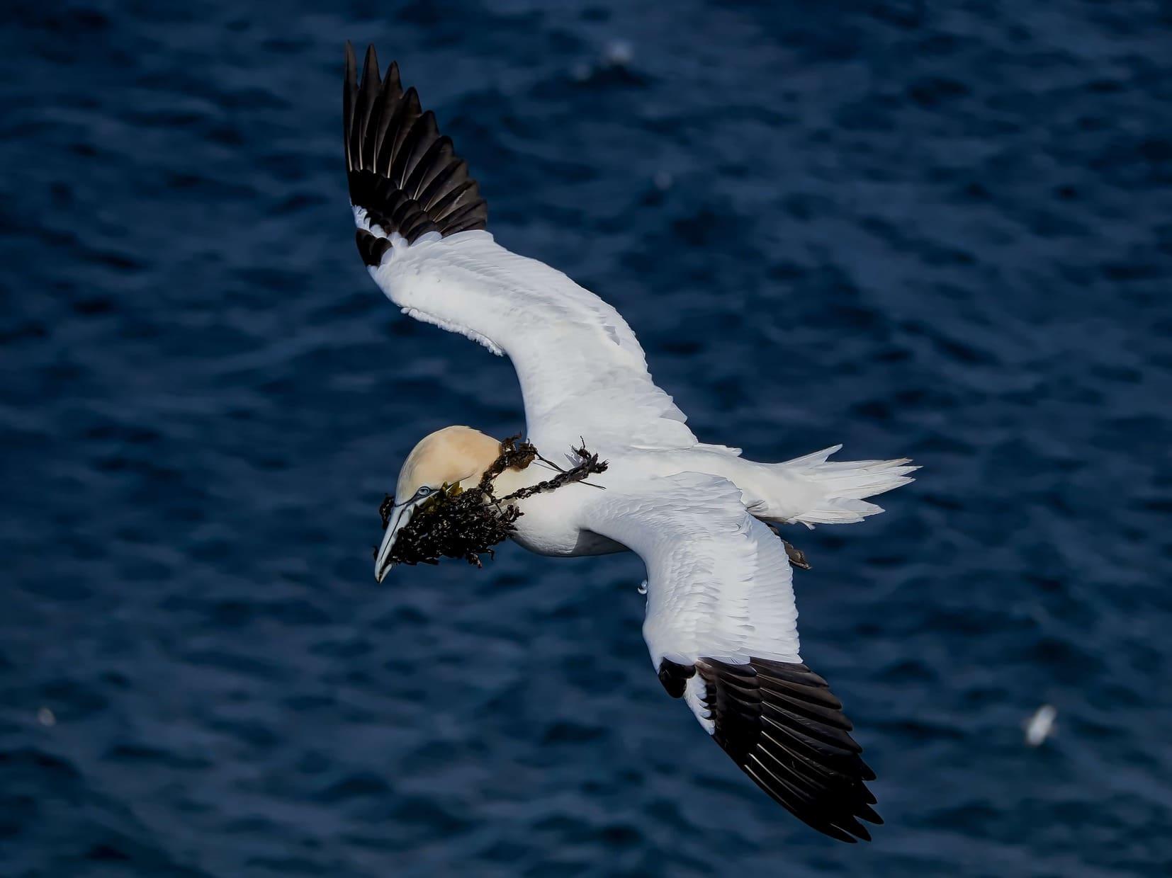 Scotland : Gannets